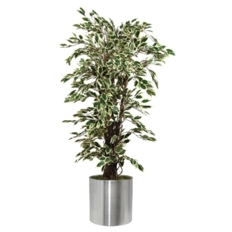 Ficus Exotica Variagated - 5ft [Fire resistant]